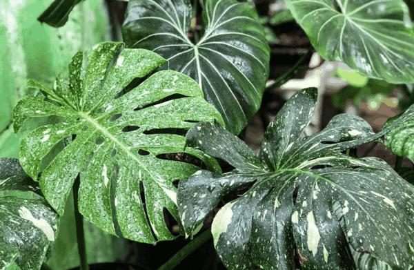 Ý nghĩa, cách trồng và chăm sóc cây trầu bà lá xẻ - phauthuatkhuonmat.net